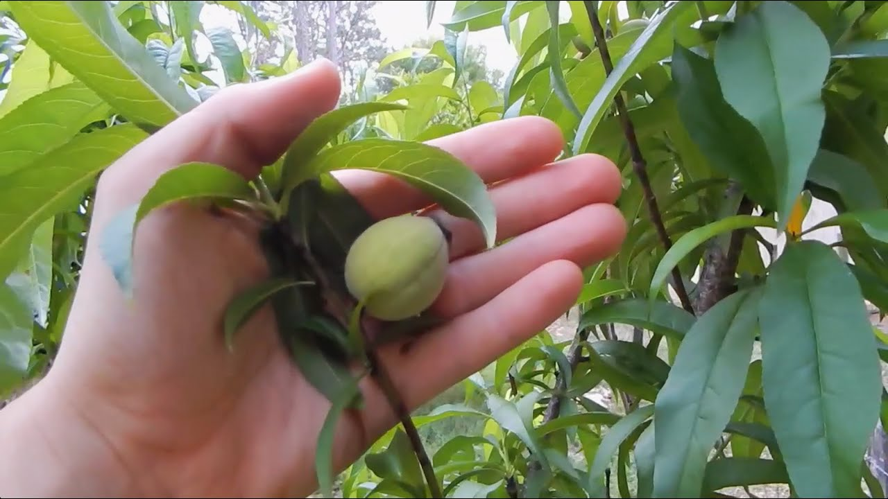 Peach Trees Grown From Seed You