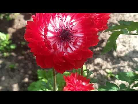 Анемона цветёт
