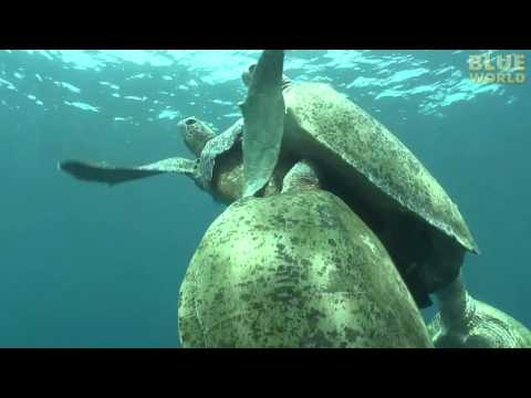Amazing Sea Turtle Mating Footage!