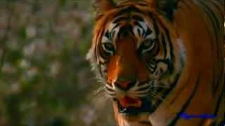 ☆ Save the Tiger ~ Endangered ☆