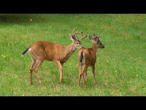 Gay Pride! Two Male Deers. Gay In The Animal Kingdom.