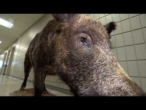 Is Saskatchewan In The Midst Of A Wild Boar Crisis? It Depends Who You Ask