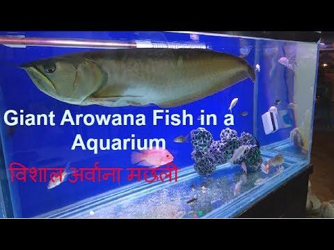 Giant Arowana fish! | lijiun |Giant Arowana