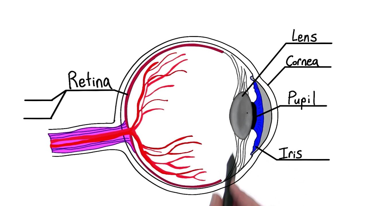 medium resolution of pschology of simple eye diagram wiring diagram row parts of the eye intro to psychology youtube
