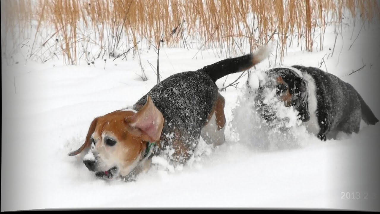 how to train a beagle to hunt rabbits