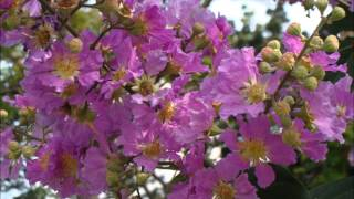 A Beautiful Music for Lagerstroemia Speciosa Flowers BLOOMS !