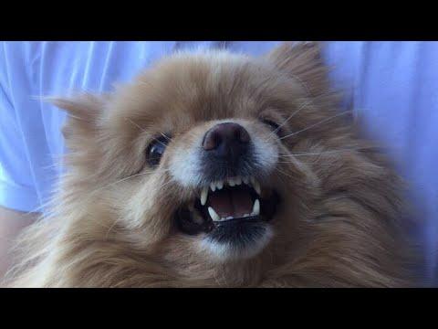 Вопрос: Как подстричь морду собаке, если она кусается?