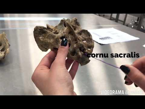 Torakal ve Lumbal Vertebra/Os Sacrum