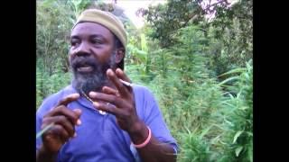 Enrolando marihuana en medio de una plantacion en jamaica
