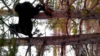 Собака лазает по деревьям не хуже Тарзана(Собака бегает по деревьям за белкой. В итоге белка поймана., 2014-09-05T01:34:49.000Z)
