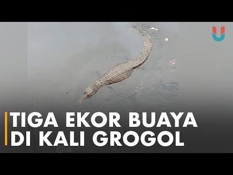 Ditemukan Tiga Ekor Buaya di Grogol