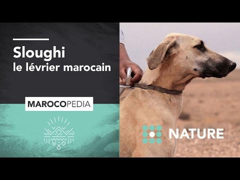 Sloughi : le lévrier marocain plus rapide que le vent !