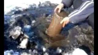 Ловля мотыля на зимнюю рыбалку