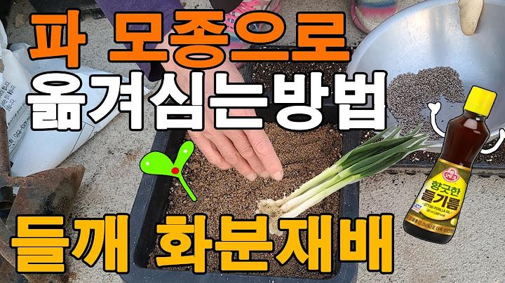파 모종으로 옮겨심는방법, 들깨 새싹재배 뽑아먹기?
