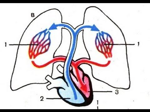 Малый круг кровообращения - Анатомия просто!