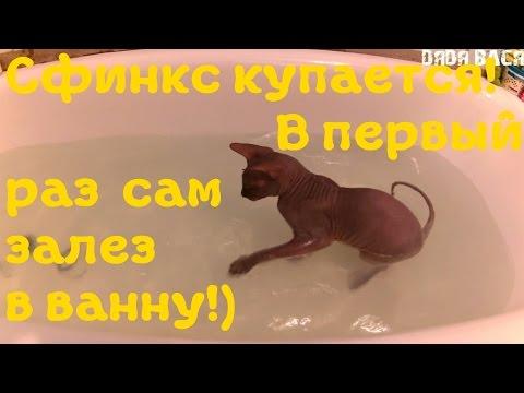 Донской Сфинкс купается! Первый раз залез сам в ванну! [#Донской Сфинкс]