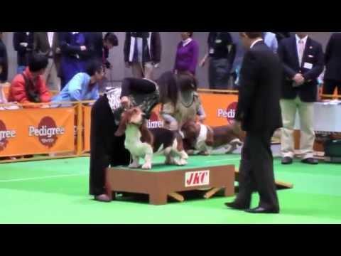 Basset Hound - 2012 FCI Japan int'l Dog Show(Breed Judging).