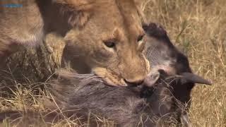 Львиный прайд против буйволов. Битвы животных. Дикие животные. Лев и буйвол. Дикая природа. В деле.