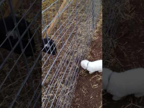 Black Alder Maremma Sheepdog 2016 Puppies - first adventure