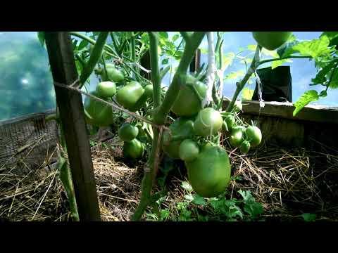 Замечательный томат Настенька от Ольги Черновой