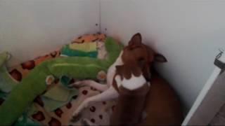 Щенок басенджи в Ульяновске . Basenji puppy and Ulyanovsk
