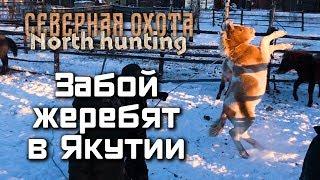 Забой жеребят в Якутии