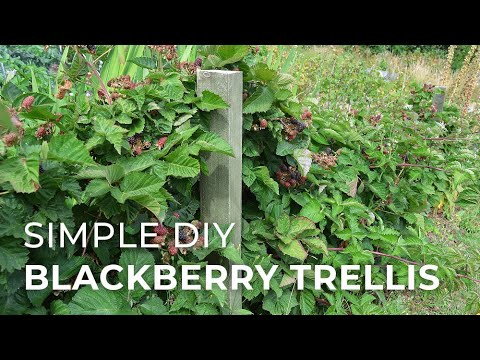 in-the-garden:-building-a-blackberry-trellis