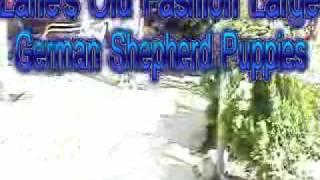 Old Fashion Large German Shepherds