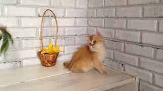 Британский котенок. Девочка