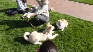 Hermione Meets A Nameless 4-month-old Wolf/husky Mix In The Quad
