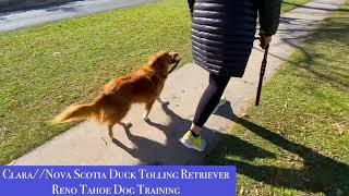 Best Reno Nevada Dog Training| Nova Scotia Duck Tolling Retriever