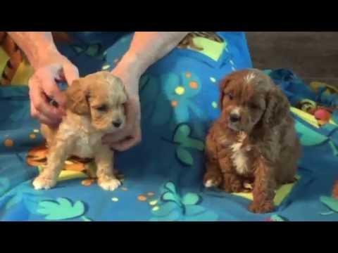 Ida, Iden, and Inez with Ivy Mae cavapoo pups ready 8-24 from KingdomDogs.com