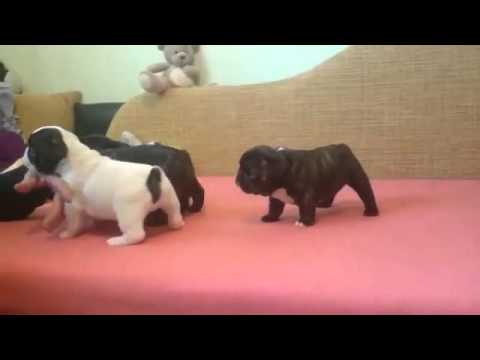 French Bulldog Puppies Imported From Ukraine Youtube