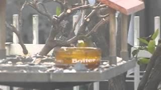 毎朝 ワカケホンセイインコがやってきます。メジロもムク鳥」もやってき...