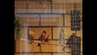 Певчие птицы в Екатеринбурге щеглы, чижи, канарейки