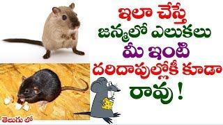 ఇలా చేస్తే జన్మలో ఎలుకలు మీ ఇంటి దరిదాపుల్లోకి కూడా రావు! || Rat control remedies in telugu