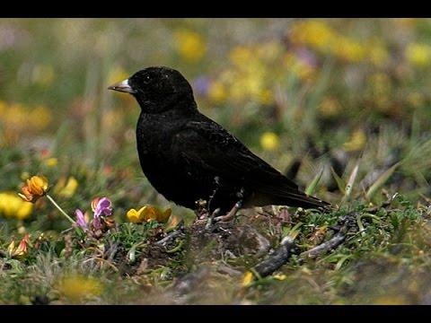 Suara lantang black lark untuk memaster branjangan, pailing, dan cendet