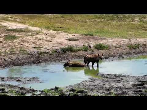 Wild Africa 17 jan 2018 Hyena`s at djuma cam about 11.00 am cat