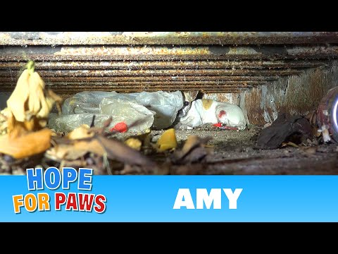 Thumbnail: Hope For Paws: Amy - an injured Chihuahua hiding from rescuers. Find out how YOU can help her today!
