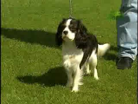 Breed All About It Cavalier King Charles Spaniel Youtube