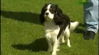 Breed All About It  Cavalier King Charles Spaniel