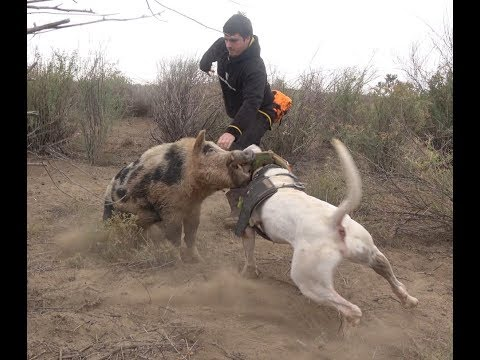 Wild Boar Hunting with dogs Action Compilation part 2