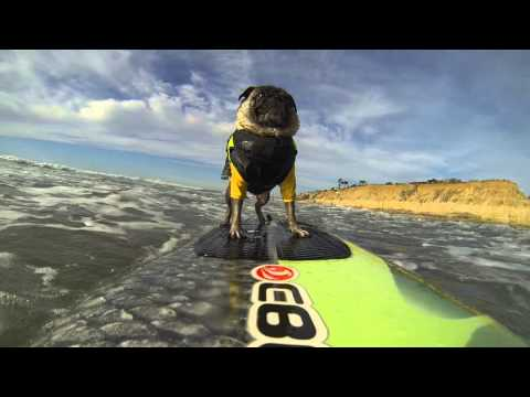 AFV Goes Pro: Brandy the Surfing Pug