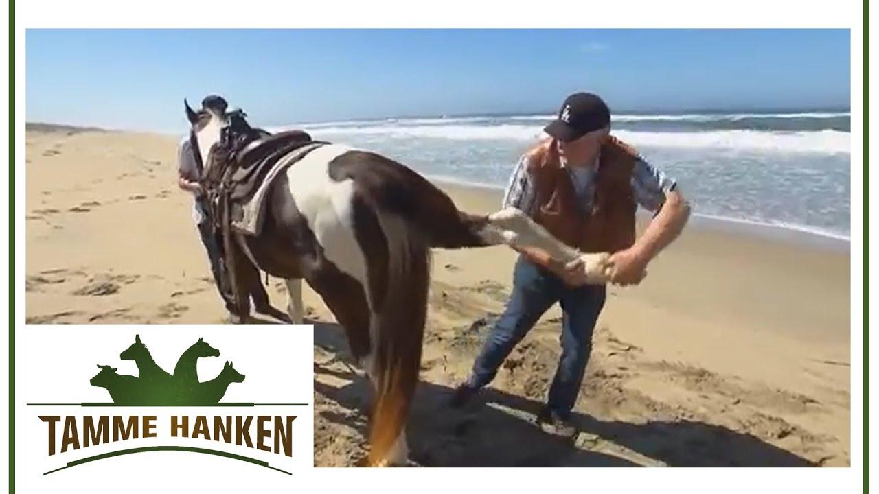 Tamme hanken pferd mit warzen