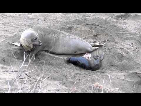 Elephant Seal Birth 1/5/13 Piedras Blancas...