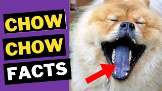 Chow Chow Dog Breed  Top 10 Interesting Facts