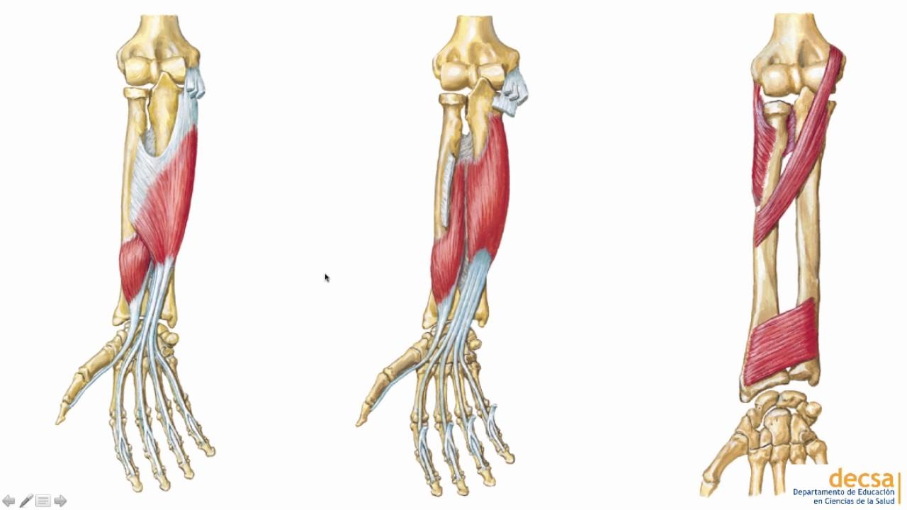 Antebrazo: Huesos y Músculos - Anatomía - YouTube