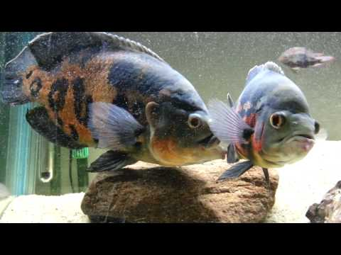 Oscar Cichlid Breeding Behaviour
