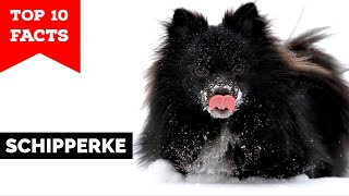 Schipperke  Top 10 Facts