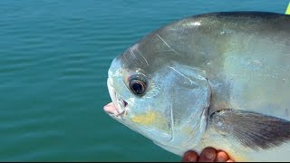 Monster Permit Tripletail on DOA Fishing Lures in Islamorada Florida
